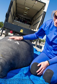 SeaWorld returns four rehabilitated manatees to warm waters