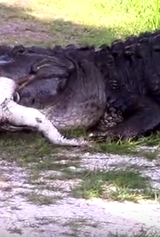 Watch this massive Florida gator eat a much smaller, weaker gator