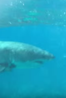Tourists capture rare footage of great white shark off Florida Keys