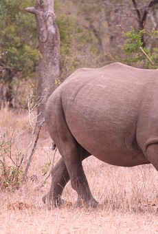 To prevent extinction, African rhinos could make their way to Florida