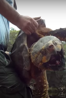 These terrifyingly huge snapping turtles exist, and the FWC doesn't want you to mess with them