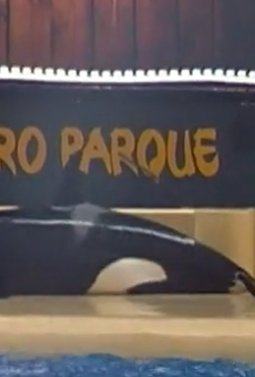 Disturbing video shows killer whale beaching itself at theme park