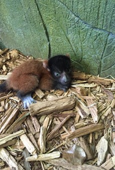 You can now visit this cute baby lemur at the Central Florida Zoo