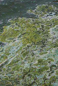 Sample of blue-green algae in Madison, Wisconsin