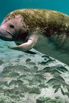 Florida boaters are killing manatees at a record-setting pace