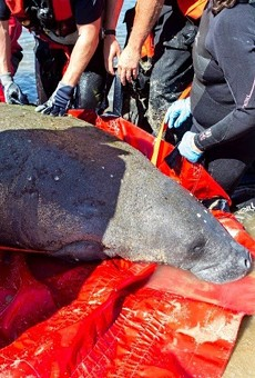 SeaWorld releases rescued pregnant manatee into Florida waters
