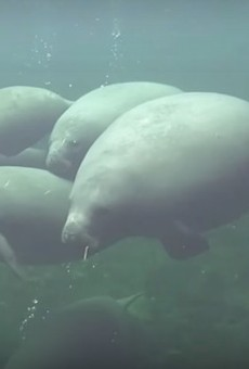 Beloved Central Florida manatee Dix found dead after watercraft collision