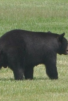 Florida's bear-management plan could again include hunting