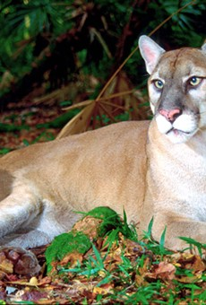 Another Florida panther killed by vehicle, car-related death toll jumps