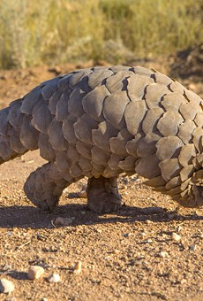 We learned a lot more about pangolins.