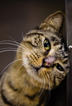 Adoptable kitty Grace would much rather rub her head against your leg than the side of this cold steel cage