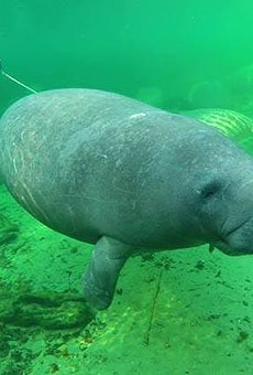 Now would be a great time to brave the cold and check out the manatees at Blue Spring State Park in Orange City