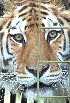 The tiger that tore into the arm of a volunteer at Tampa's Big Cat Rescue today was also among a group of tigers that ate a guy's arms in 2018