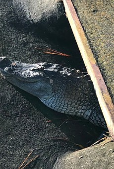 A 6-foot alligator was freed today after being trapped in a Sarasota storm drain