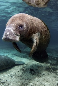 Federal authorities look into abuse after Florida manatee found with 'Trump' scraped on its back