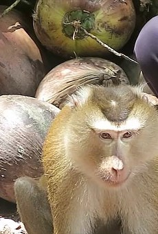 Publix won't stop selling coconut milk from company that uses monkey slave labor, says PETA