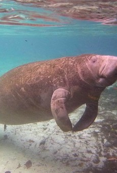 "Reward for information about person who scraped ""Trump"" into manatee upped to $8,000"