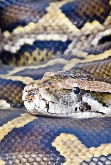 185-pound Burmese python captured in Naples might be heaviest in Florida history