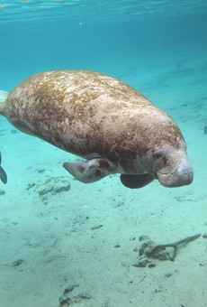 Florida could spend nearly $4 million to address manatee deaths