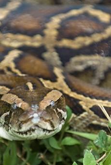 Florida lawmaker wants $600k to hunt Burmese pythons