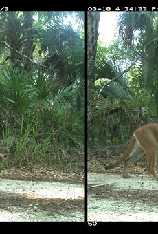 Two Florida panther kittens found north of the Caloosahatchee River