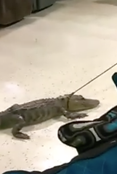 Florida sheriff's deputies drag gator through furniture store