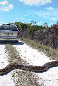 This 15-foot long beast was captured April 1 in the Florida Everglades (Click the photo for more info).
