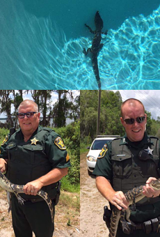 Sheriff deputies remove baby gator from Winter Haven pool