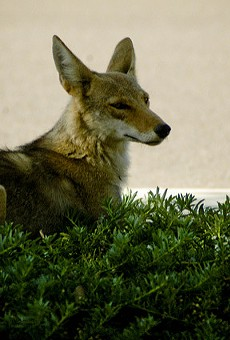 Do not approach the beach coyotes at Ormond Beach