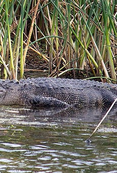 Florida man bitten by gator while diving for used golf balls
