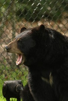 Florida has less money to help with bear-proof trash cans