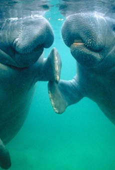 Manatees are hooking up right now and the FWC would like you to MYOB