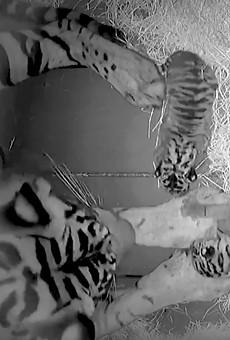 Disney's Animal Kingdom welcomes critically endangered Sumatran tiger cubs