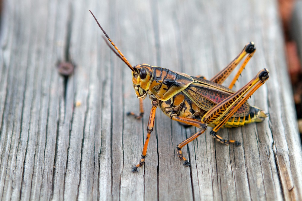 Orlando must learn to live with its giant grasshopper
