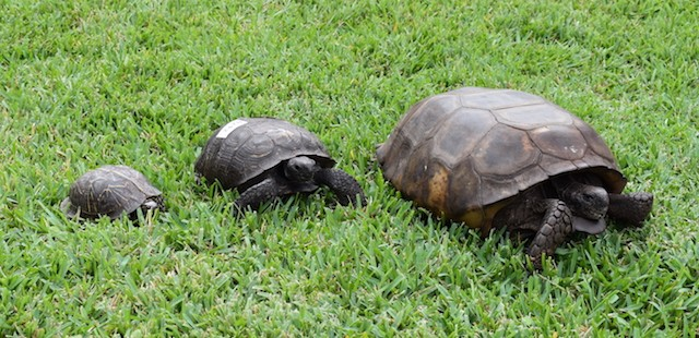 From left to right: A Florida box turtle, a regular gopher tortoise, and our hefty champion - PHOTO VIA CROW