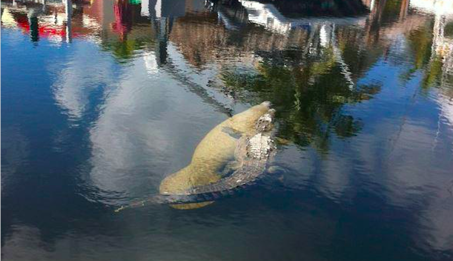 A manatee and a crocodile recently became best friends in Florida