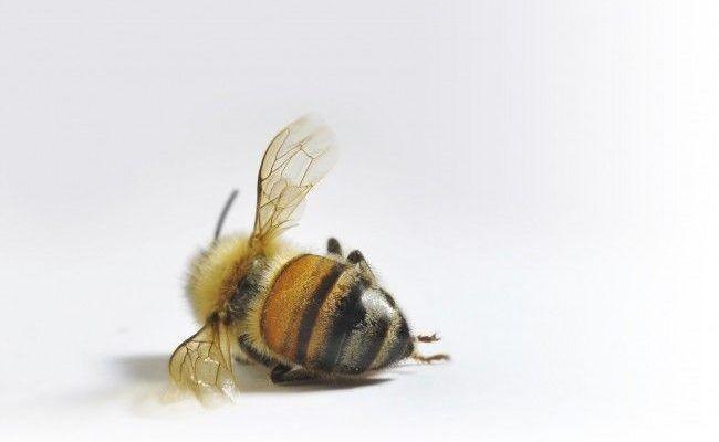 deadhoneybee.jpg