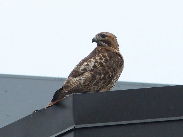 Not the golf-hating hawk in question, but a red tail hawk nonetheless - PHOTO VIA BRIAN RUSNICA/FLICKR