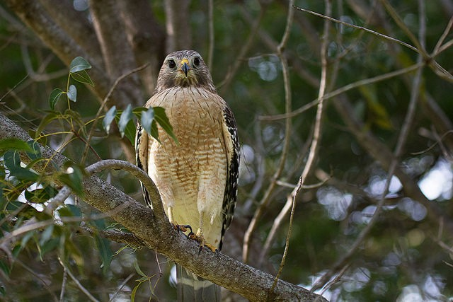 Not the hawk in question, but a red shouldered hawk nonetheless - PHOTO VIA RUSS ON FLICKR
