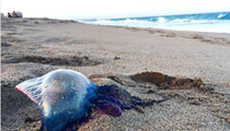 Changes in current patterns push thousands of Portuguese man o' war onto Florida beaches