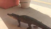 Just an alligator strolling through a strip mall in Flagler Beach