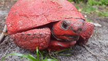 Florida authorities would like you to stop painting gopher tortoises