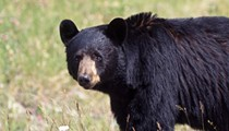 A bear that attacked two dogs and destroyed an SUV in Longwood has been killed, officials say