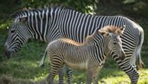 Disney debuts two new zebra foals at Animal Kingdom