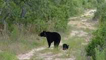 Florida senator files bill that would protect runt black bear cubs