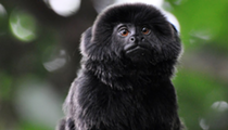 Someone stole this little monkey from a Florida zoo last night