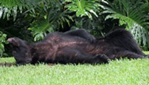Hungry bear eats 20 pounds of dog food and naps on Florida man's lawn