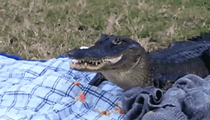 This alligator ate a University of Florida couple's picnic with zero remorse