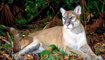 We've now killed more Florida panthers in 2015 than any other year