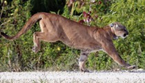 Florida drivers can't seem to stop running over panthers